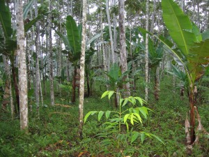 Emerging forest post-bracken
